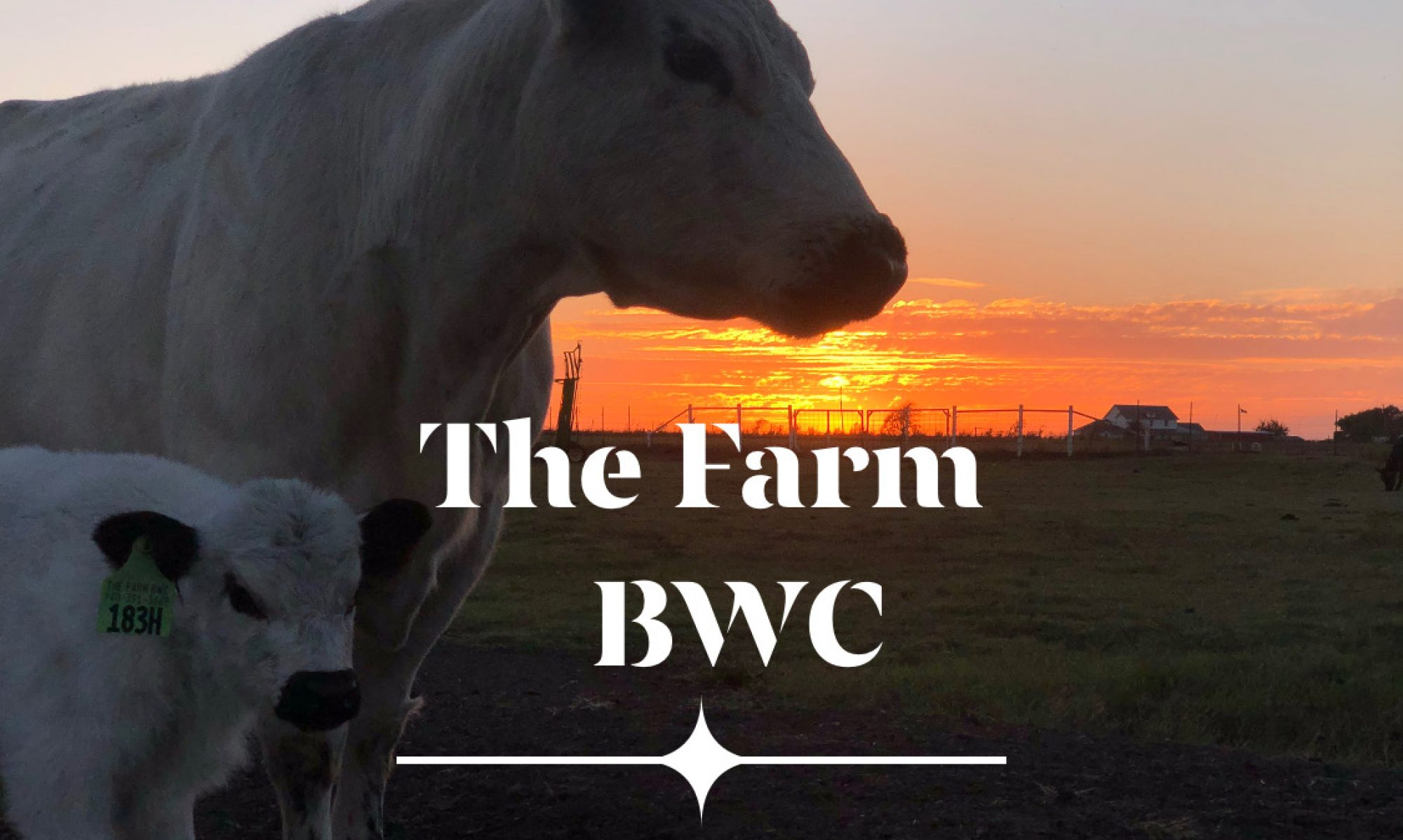 The Farm British White Cattle